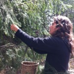 Harvesting fir tips