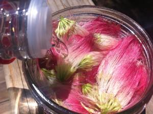 mimosa tincture