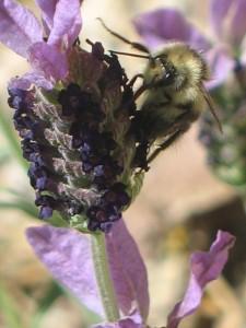 Bee on Spanish Lavender