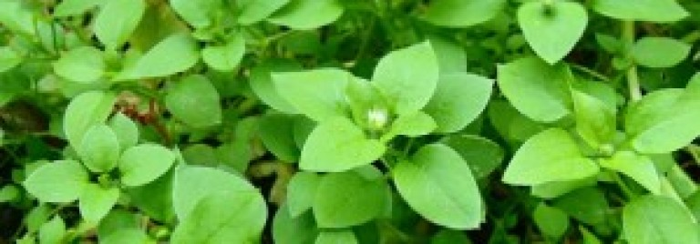 Chickweed is Food & Medicine!