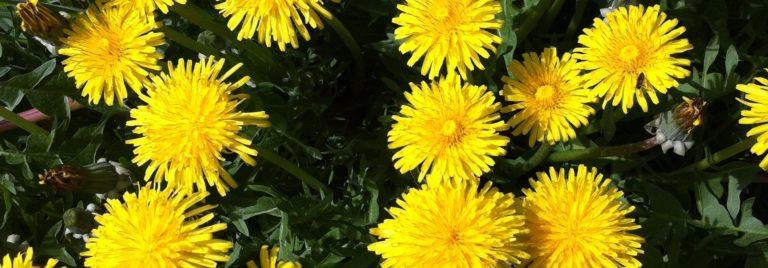 Dandelion Flower Cakes